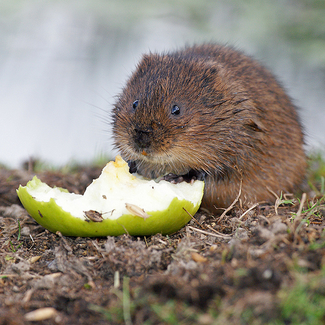 Water Vole courtesy of hehaden