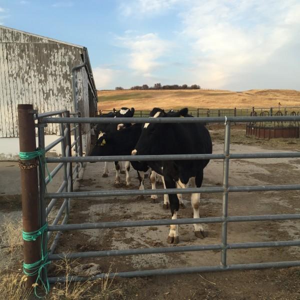 WSU Cows